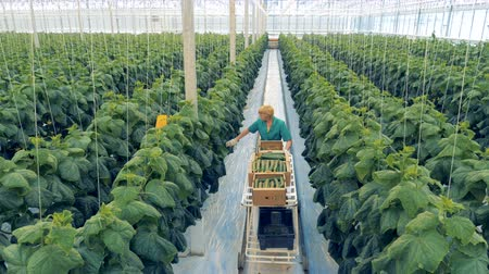 breeder : Female worker picks cucumbers in a greenhouse. Wide angle view.