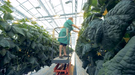 agrarian : One woman looks for cucumbers at a greenhouse.