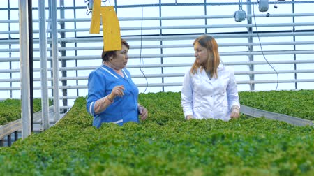 лопата : Female workers look through lettuce plants.