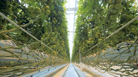 éretlen : Passway through a greenhouse full of growing tomatoes