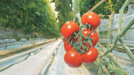 gałąź : Plantation of tomatoes growing in a greenhouse with a cluster of mellow tomatoes