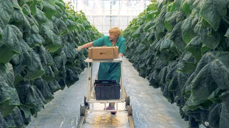 collected : Female greenery worker is pulling a trolley with harvested cucumbers and while looking for more Stock Footage