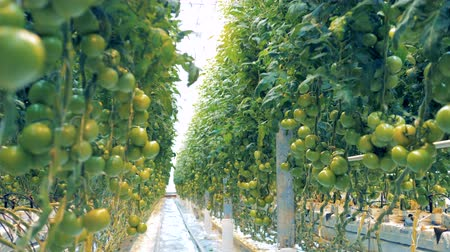 éretlen : Tomato brushwood breeding in a spacious greenery