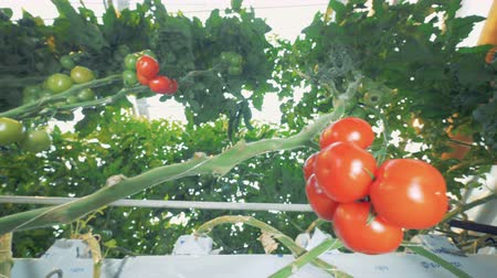 éretlen : Clusters of tomatoes are growing among the brushwood in a greenhouse