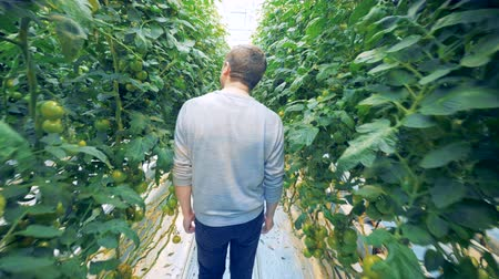 cserjés : A man is walking along the passway of a tomato warmhouse