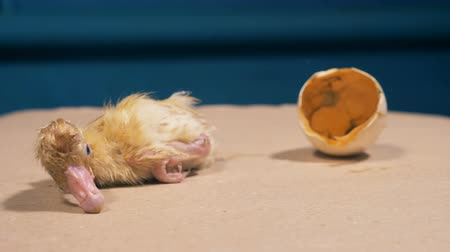 recém nascido : Newly-hatched baby duckling is crawling away from the broken eggshell