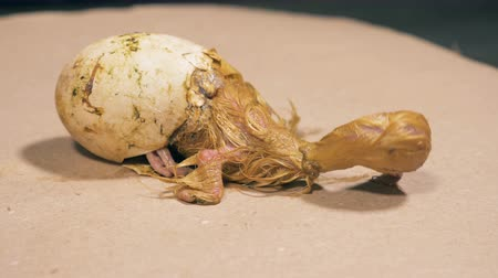 feathered : Half-hatched duckling is slightly moving in the eggshell
