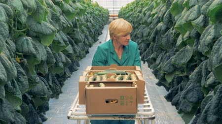 hydroponic : Female greenhouse worker is cutting off cucumbers