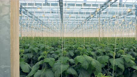 cserjés : Plantation of tied up cucumber seedlings in a glasshouse