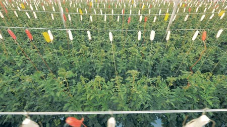 propagação : Top view of tied up tomato coppice growing in a farmhouse