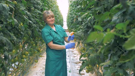 propagação : Greenery worker is spraying tomato seedlings