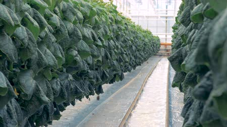 propagação : A passage between two lines of cucumber seedlings in a glasshouse