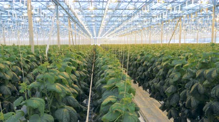 passages : Even rows of tied up cucumber seedlings are growing in a glasshouse Stock Footage