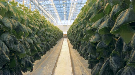 propagação : Empty space between two rows of cucumber bushes in a greenhouse Vídeos