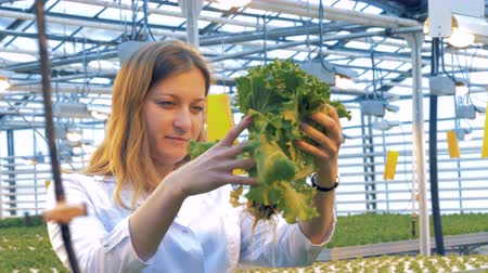 propagação : Greenhouse employee is lifting a pot with sprouted lettuce