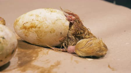 pena : Barely alive half-hatched duckling is breathing heavily