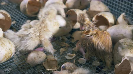 patinho : Hatched poults crawl, close up. Newborn ducklings sit in a box near eggshells at a poultry farm.
