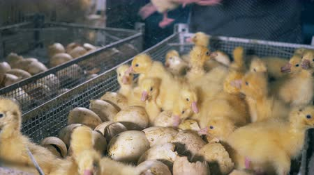 animal paws : Farm workers pick little ducks. Stock Footage