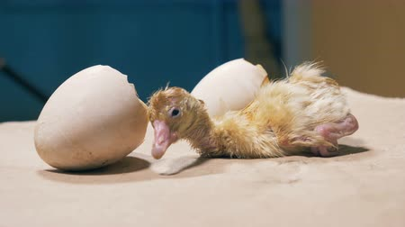 hatch : Tiny chick is shaking near eggshell, close up.