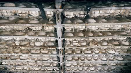 egg laying : Hatched eggs on shelves at a poultry farm, close up.