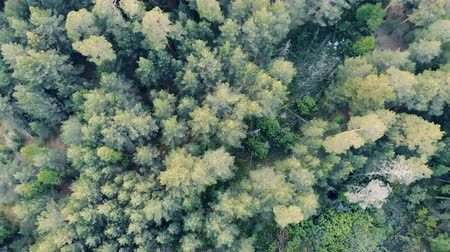 driftwood : Multiple crowns of forest trees in a view from above Stock Footage