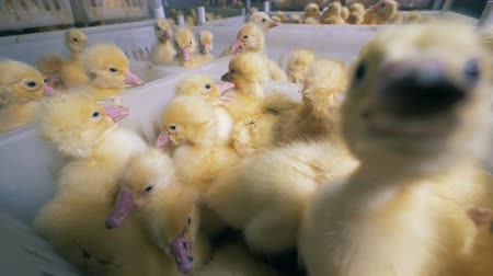 incubator : Many little ducklings sit in boxes at a special farm, close up.