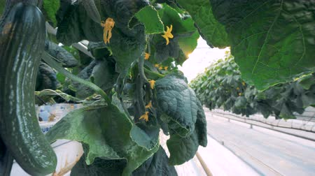spiny : Cucumbers grow in rows in a greenhouse, close up. Ripe cucumbers are in metal beds at a farm. Stock Footage