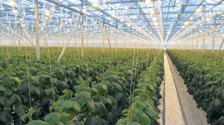 lots of : Big greenhouse with lots of plants. Many rows of cucumber plants in one greenhouse. Stock Footage