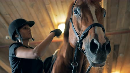 horse breeding : Horses mane is being brushed by a jockey girl