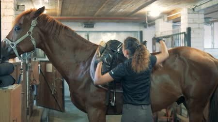 jezdecký : Professional jockey is putting a saddle onto a stallion and regulating it
