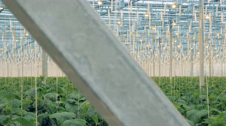fotossíntese : Brushwood of cucumber plants in a massive greenery. Modern agriculture concept. Vídeos