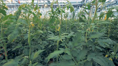 propagação : Tomato coppices are getting planted in a hothouse Vídeos
