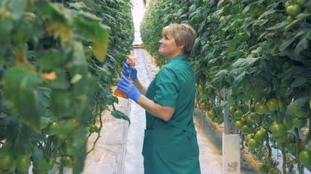 propagação : Hothouse worker is humidifying tomato bushes.