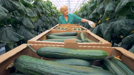 provést : Cucumbers harvesting process carried out in a glasshouse. Healthy products production concept. Dostupné videozáznamy