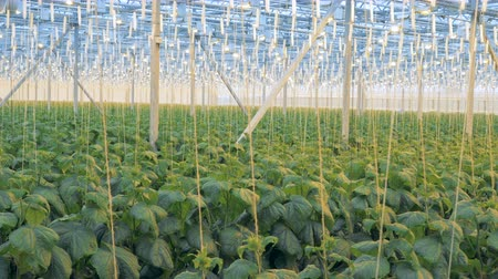 cserjés : Rows of cucumber plants growing in a large greenhouse. Modern agriculture concept. Stock mozgókép