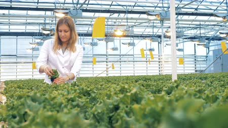 фотосинтез : Glasshouse employee is inspecting seedlings of lettuce. Healthy products production concept. Стоковые видеозаписи