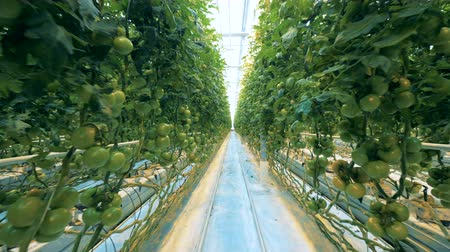 unripe : Many green tomatoes on plants.