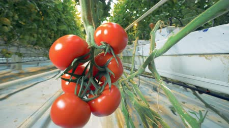stalk : Red tomatoes on a branch, close up. Stock Footage