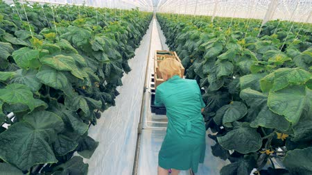 листья : Female worker collects cucumbers. Стоковые видеозаписи