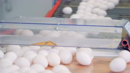 egg sorting : Eggs transportation process downwards the conveyor belt at a poultry. Poultry farm industrial production line.