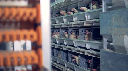 feathered : Fowlery facility with young hens contained in cages Stock Footage