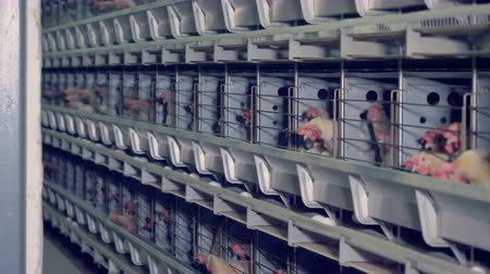 kuşçuluk : Plenty of hens contained in cages in a poultry house