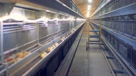 csajok : Baby chickens are pecking grain in a henhouse unit. Poultry interior.