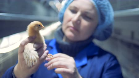 chicken coop : Poultry worker portrait. Chicken Farm, Poultry Stock Footage