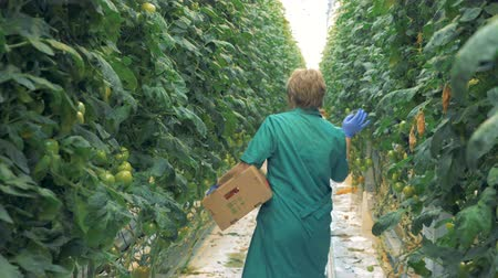 propagação : Female greenery worker is looking for mellow tomatoes. Organic cultivation of natural and fresh vegetables.