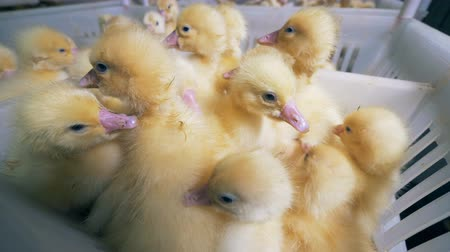 incubator : A pile of yellow baby ducklings in a plastic box in a poultry.