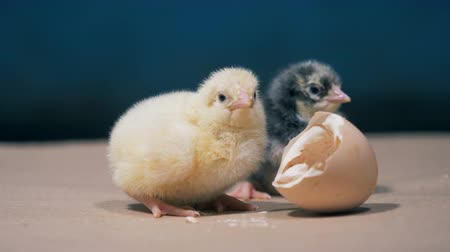csajok : Two small chickens of different colour are sitting near broken egg Stock mozgókép