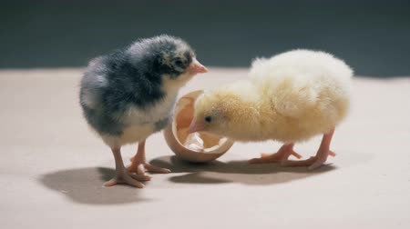 csajok : Helpless baby chicks are poking and playing with each other