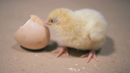 nevinný : Baby chicken is poking broken eggshell with its beak