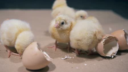 hatch : Clueless yellow baby chickens are bustling around broken eggs